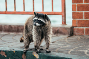 Raccoon Pest Management