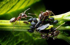 argentine Ants pest control