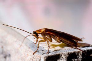 Cockroaches Pest Management