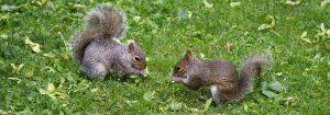 Squirrel Pest Management