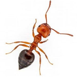 Acrobat Ant extermination