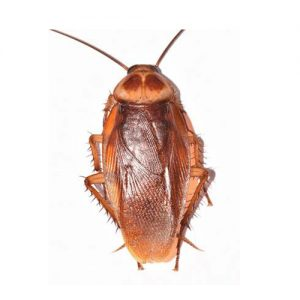American Cockroach extermination