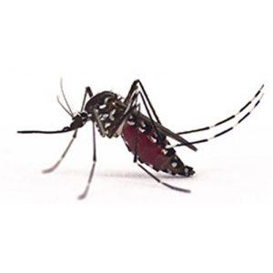 Asian Tiger Mosquito extermination