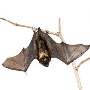 Bat Pest Management