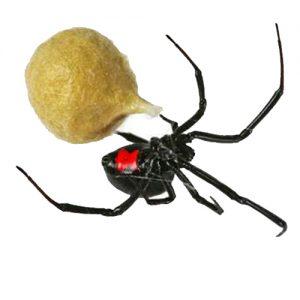 Black Widow extermination