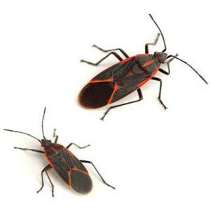 Boxelder Bug control
