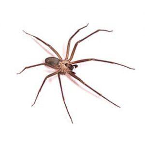 Brown Recluse Spider extermination