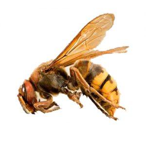 European Hornet pest control