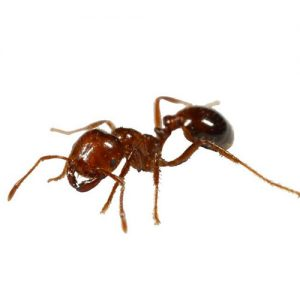 Fire Ant extermination