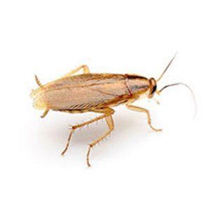 German Cockroach extermination