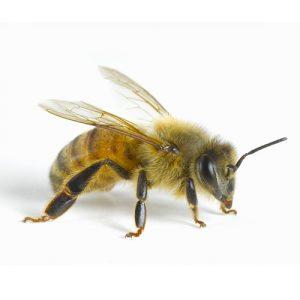 Honey Bee pest control