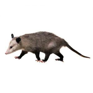 Opossum Pest Management