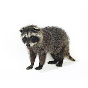 Raccoon Pest Management