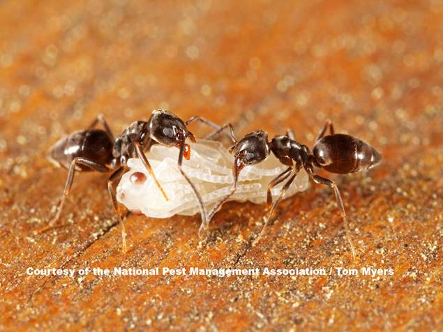 odorous-house-ant