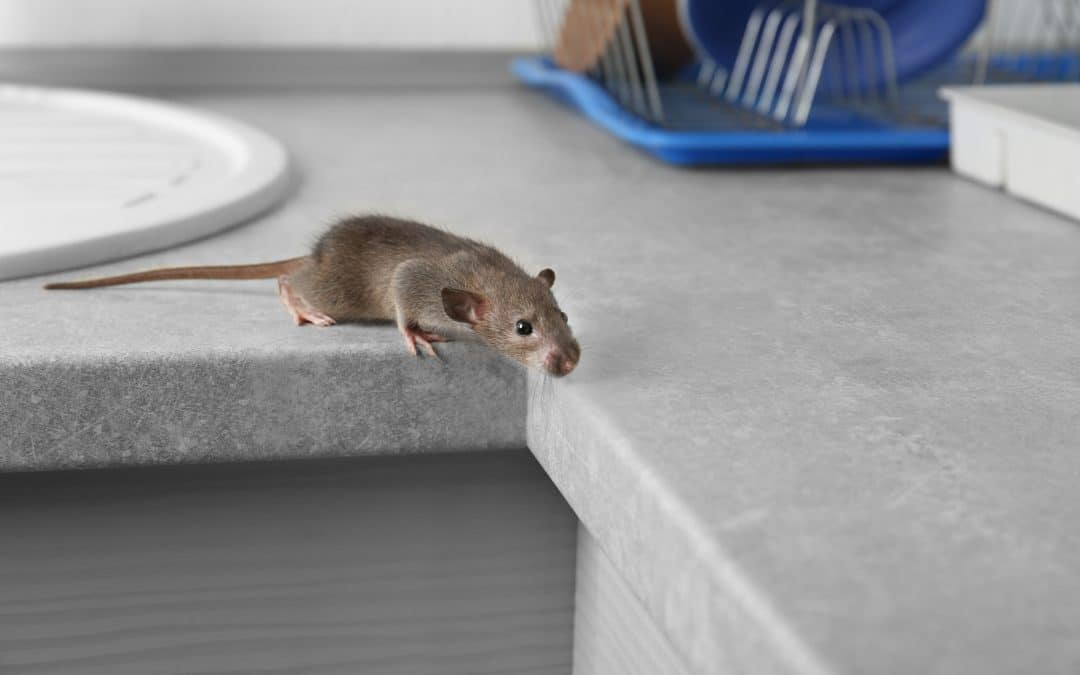 What are the Health Risks of a Rat Infestation?