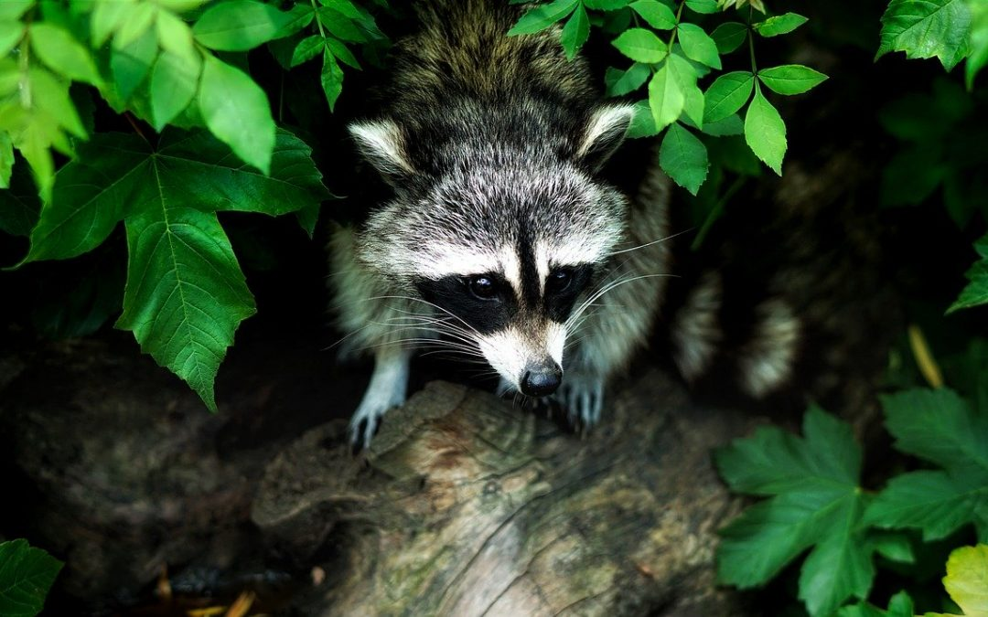 Learn About Raccoons & See How They Live