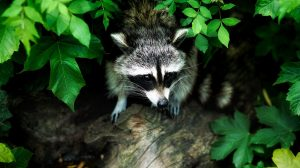 Learn about raccoons