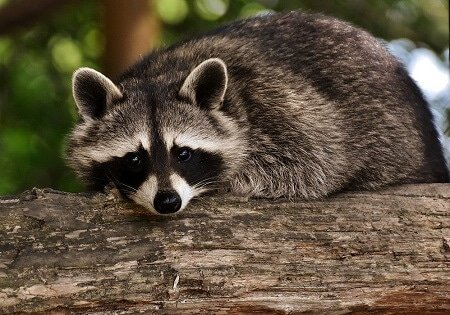 raccoon on tree limb