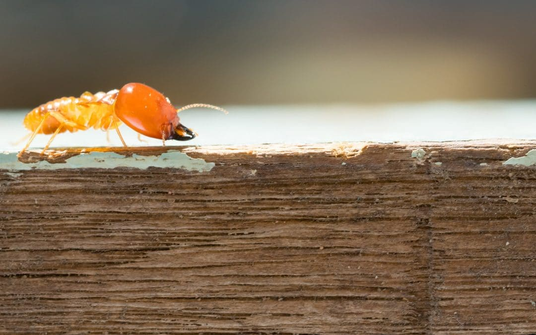 Learn About Termites – Lifestyle, Signs, And How To Treat