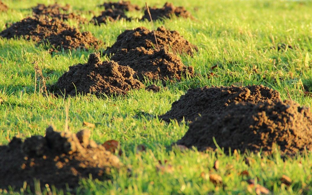 All About Moles – Identification, Behavior, & Removal