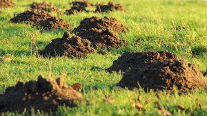 mole hills in green field