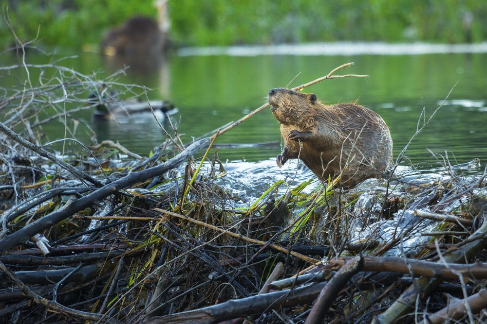 Learn About Beavers | See how they live