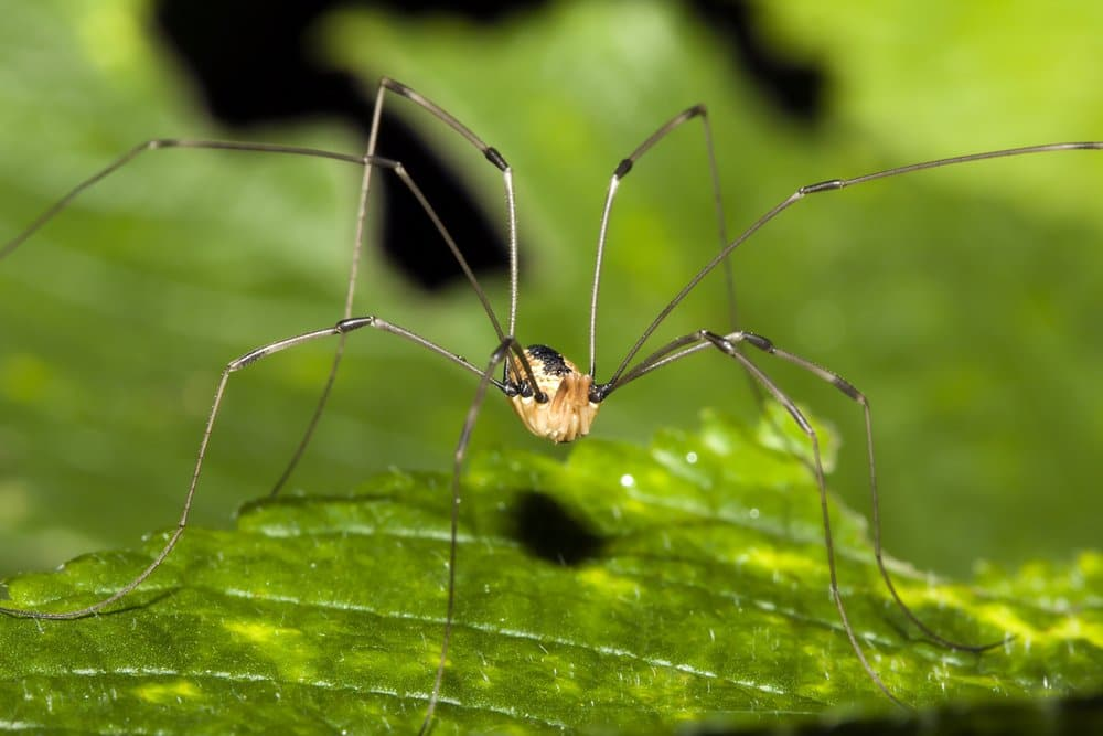 Daddy Longlegs Risk Their Life, Especially Limbs, to Survive