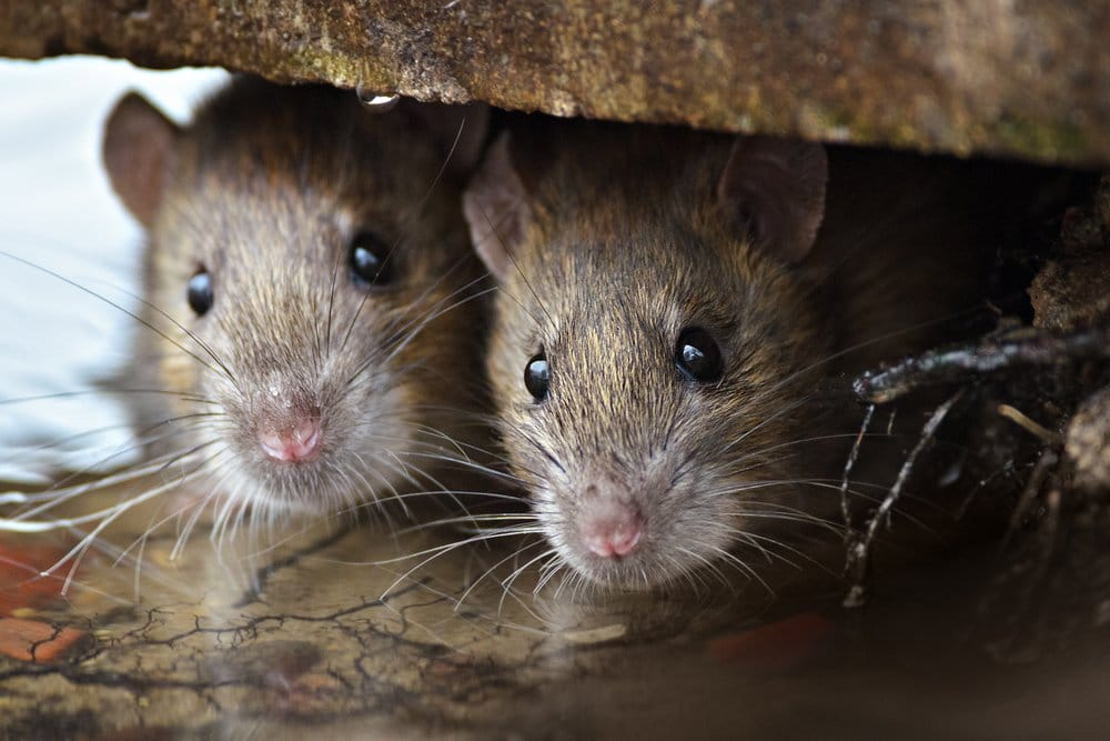 Learn about Mice and Rats | See How They Live
