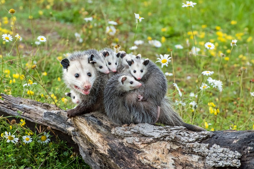 Learn about Opossums | See How They Live