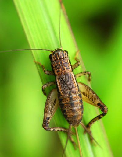 Cricket,On,Green,Leaf