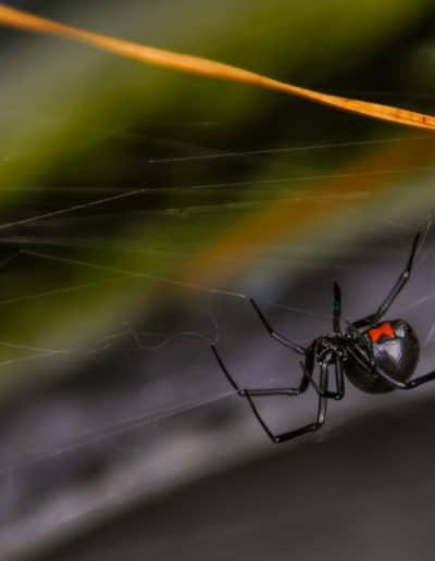 Black,Widow,Spider