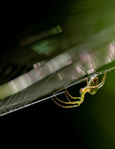 Side,View,Of,An,Orchard,Orbweaver,In,Its,Web.,Wake